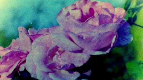 Pink rose skips and burns in 16mm projector Royalty-free stock video