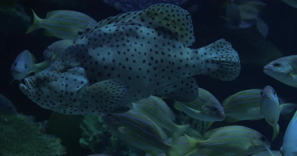 Different kind of fish swimming behind the glass of aquarium Royalty-free stock video