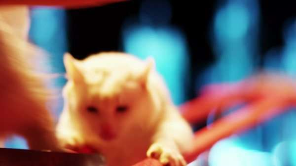 Two white cats are performing stunts in the circus. Royalty-free stock video