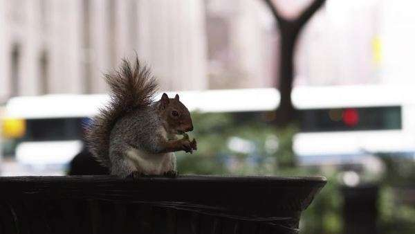 MS Squirrel in Madison Square Park, Manhattan, New York City, New York Royalty-free stock video