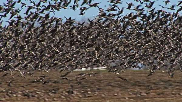Large flock of flying White-fronted and Red-breasted geese Royalty-free stock video
