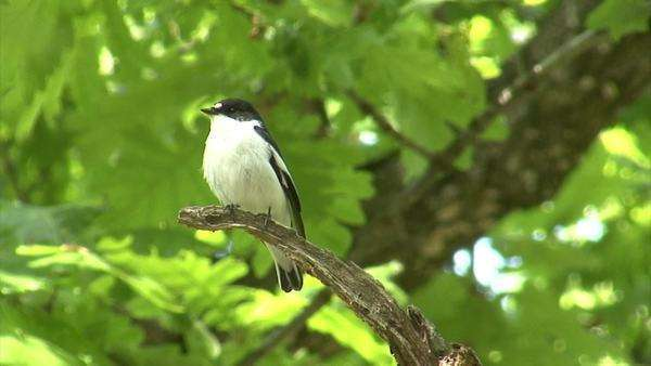 Bird Semi-collared Flycatcher perching and singing on a tree branch in forest Royalty-free stock video