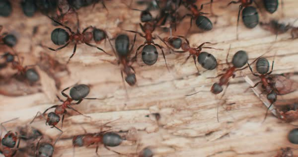 Macro shot of nasty looking ants crawling over a light wood texture Royalty-free stock video