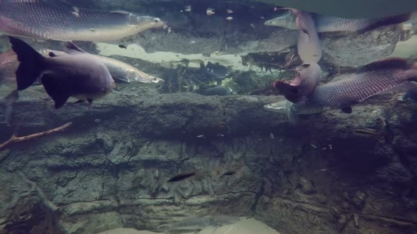 Aquarium shot of pirarucu swimming amongst other fish in clear water Royalty-free stock video