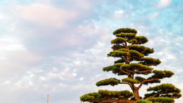 Timelapse of clouds over a Japanese pine tree (Matsu tree) at twilight Royalty-free stock video