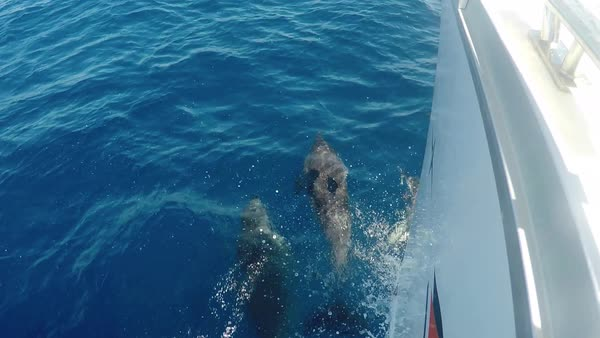 Flock of dolphins swim and jump ahead of the bow of a ship at high speed, POV, top view. Magnificent blue pure sea, ocean water Royalty-free stock video