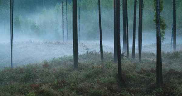 Timelapse of fog flowing through pine tree forest Royalty-free stock video