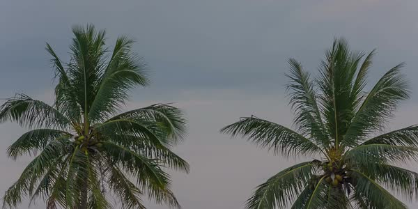 Sunset palm tree top wind moving Phuket Thailand Royalty-free stock video