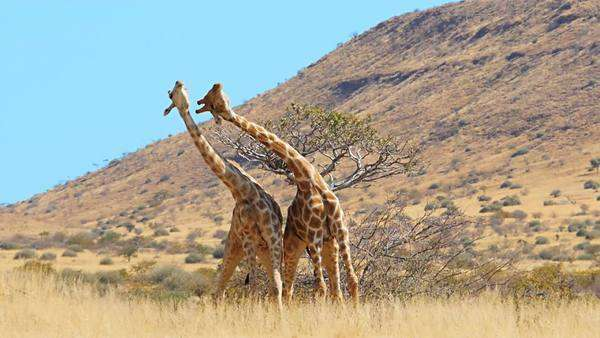 Giraffes fighting for dominance - mating behavior, slow motion Royalty-free stock video