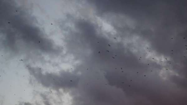 Wide shot of birds swarming in the sky Royalty-free stock video