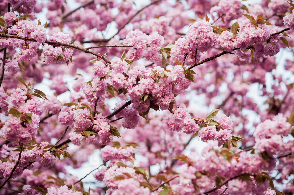 Close Up Of Pink Blossoms On Tree Branches In Baltimore County