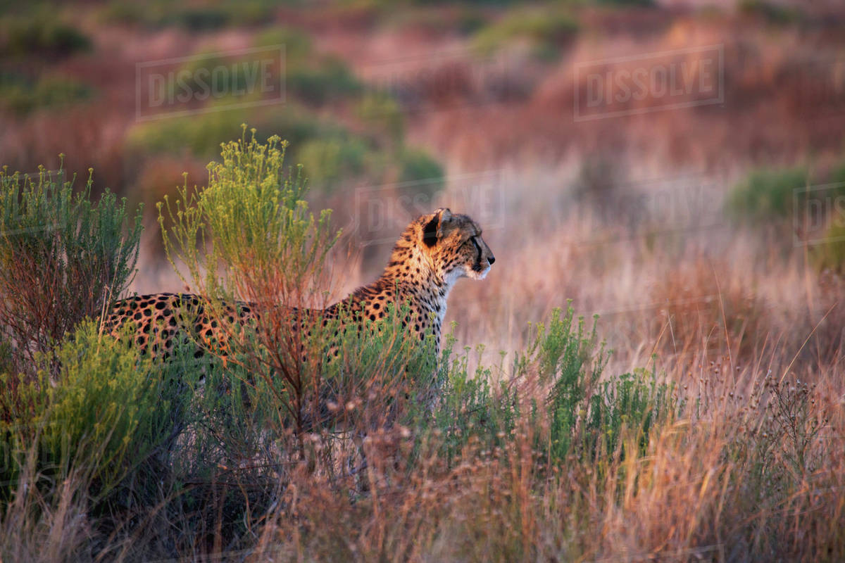 Cheetah Watching In The Tall Grass South Africa Stock Photo