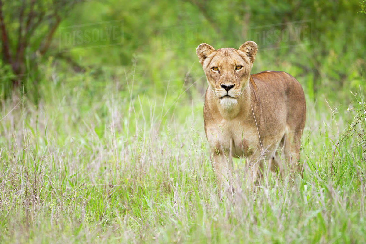 Female lion on the prowl at the serengeti plains, staring directly into the  camera