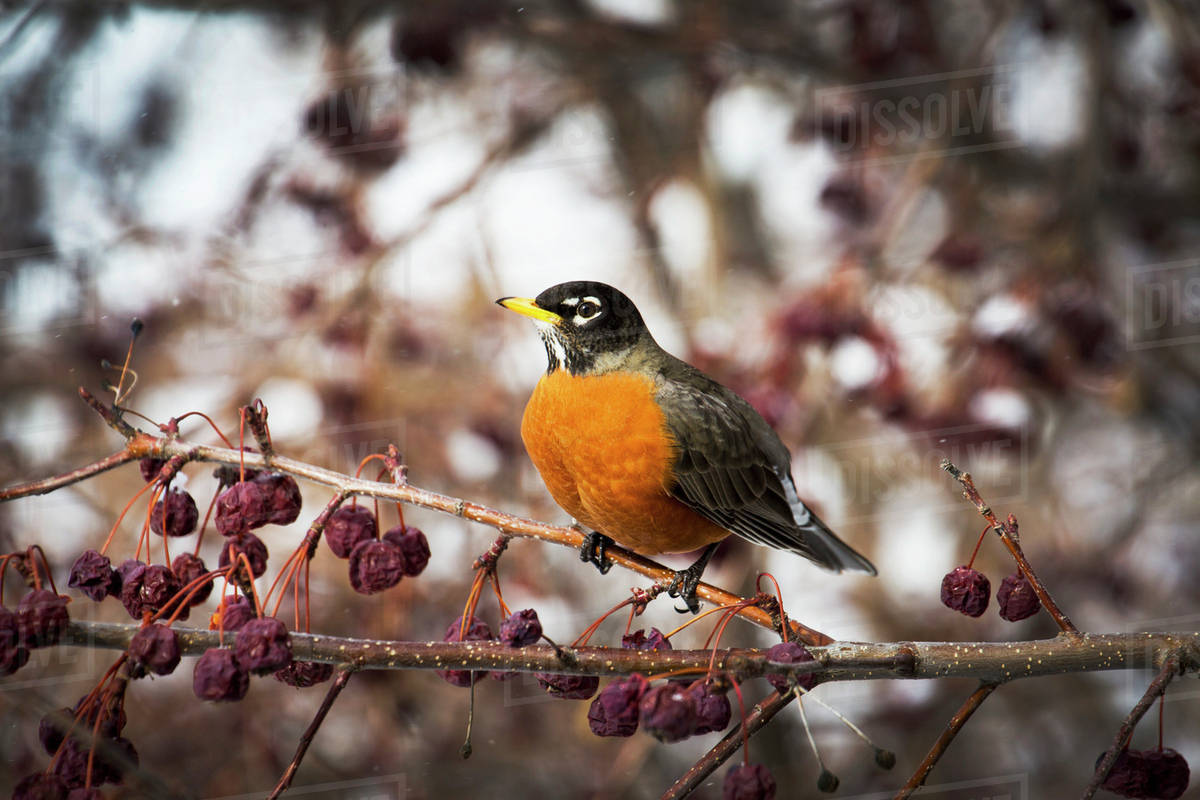 Close Up Of A Robin In A Crab Apple Tree With Dried Out Apples
