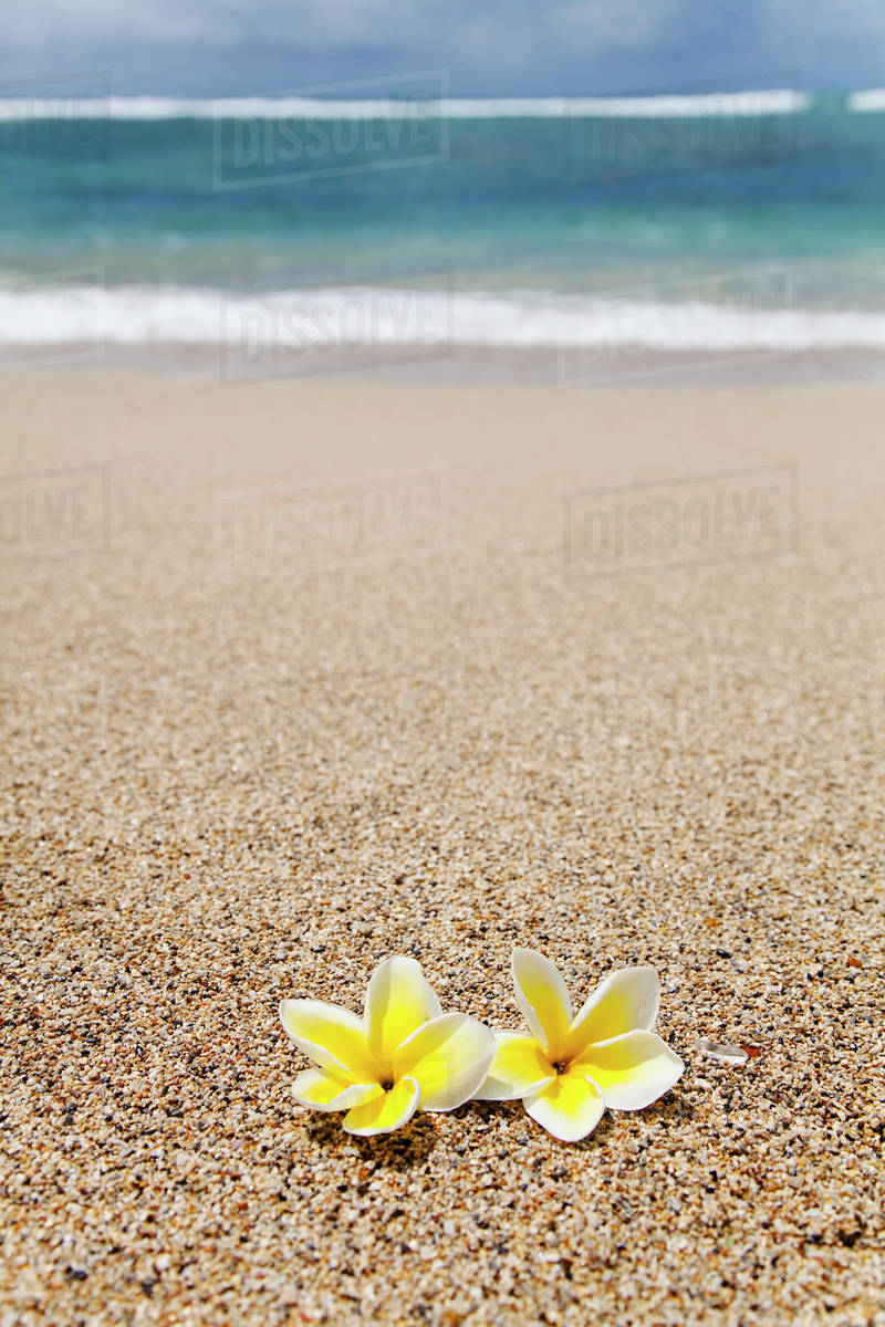A Pair Of Plumeria Flowers On The Beach Honolulu Oahu Hawaii United States America