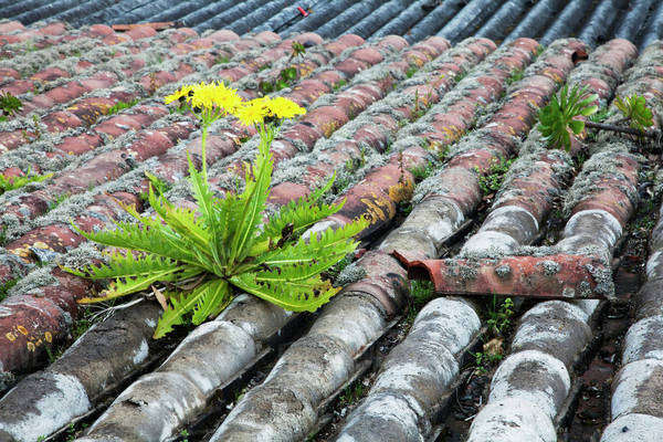 Dandelion on tiled roof;Portugal Royalty-free stock photo