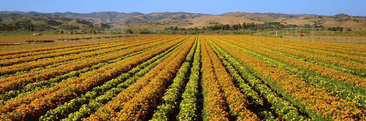 Agriculture - A field of commercially grown Marigold flowers / Lompoc, California, USA.