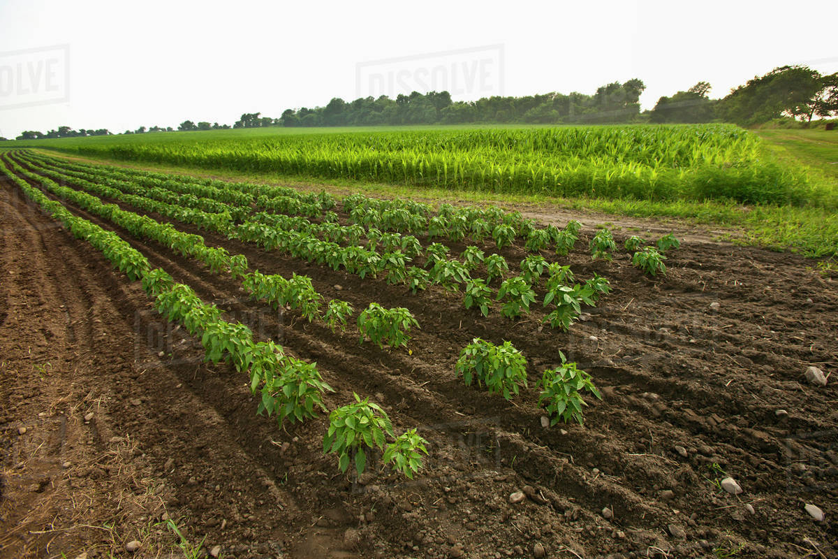 Agriculture - Rows of hot pepper plants with a sweet corn field in the  background at a local family produce farm / Little Compton, Rhode Island,  USA