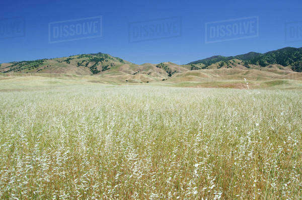 Grassy Fields In The Foothills Of The Tehachapi Mountains; California, United States of America Royalty-free stock photo