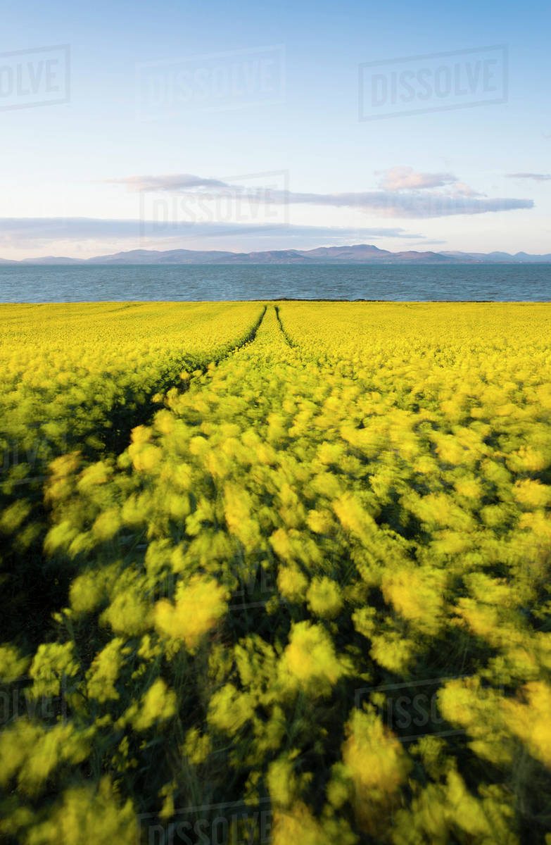 Colourful Yellow Rape Seed Field With Flowers Blowing In The Wind
