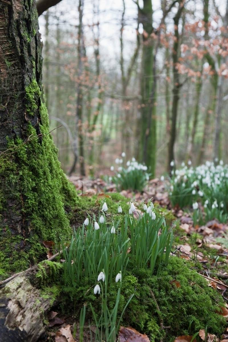 White Flowers Growing On The Forest Floor Beside A Moss Covered Tree