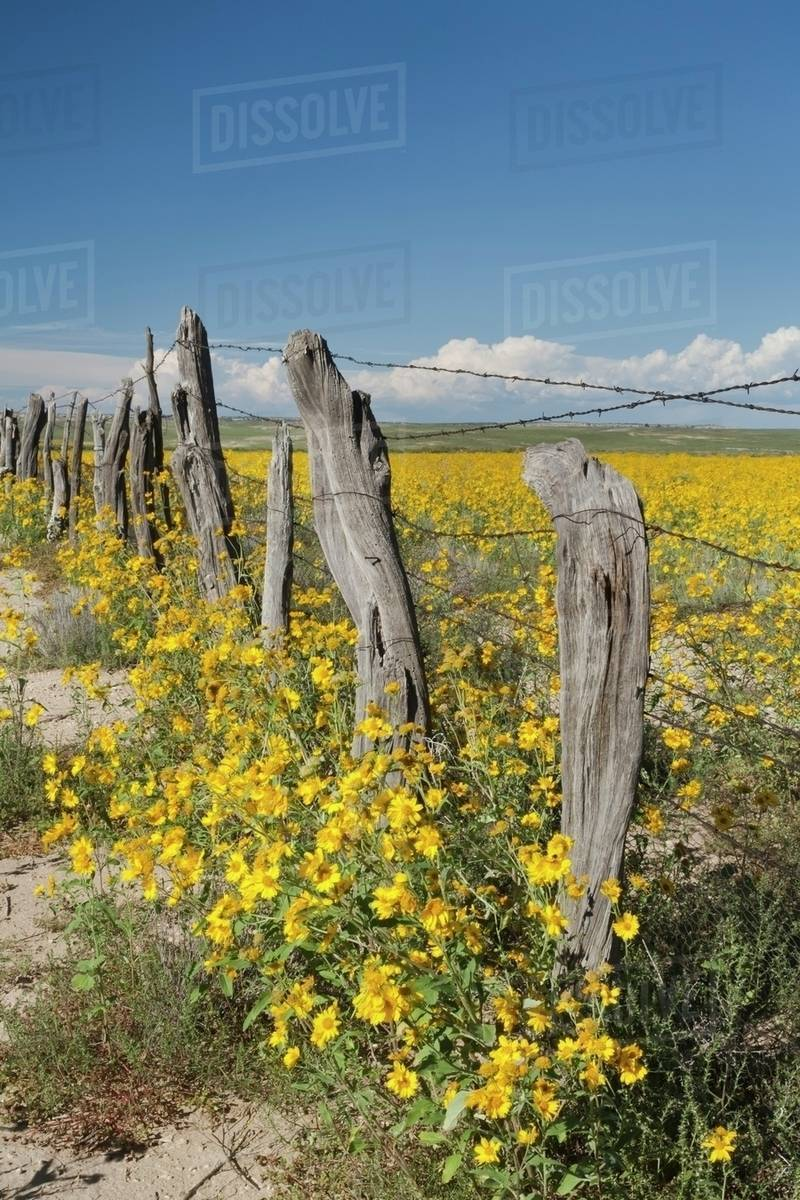 Wildflowers Surround Rustic Barb Wire Fence In The Plains Of Northwestern New Mexico United States America