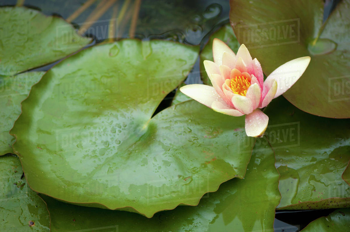 Lotus Flower In The Pond Berkeley California United States Of