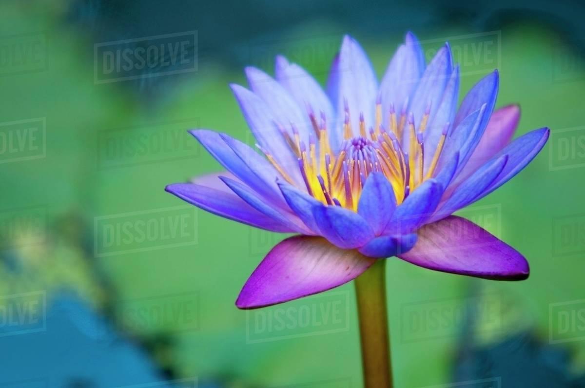 A Lotus Flower Nelumbo Nucifera Chiang Mai Thailand Stock