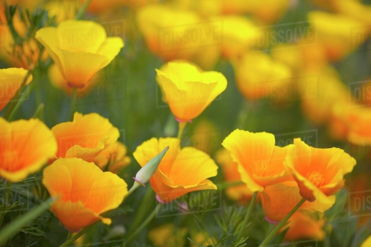 Yellow Poppies In A Field In Columbia River Gorge National Scenic