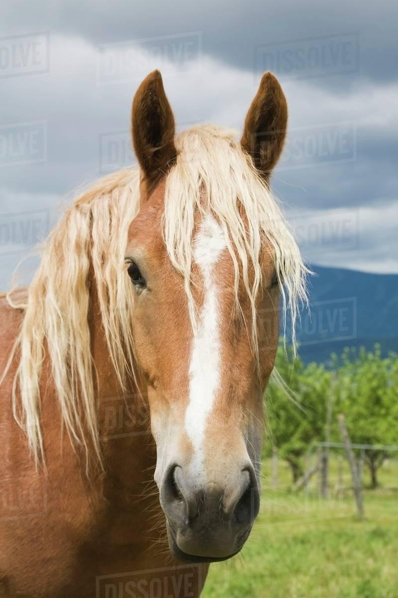 Light Brown Horse Ile D Orleans Quebec Canada Stock Photo Dissolve