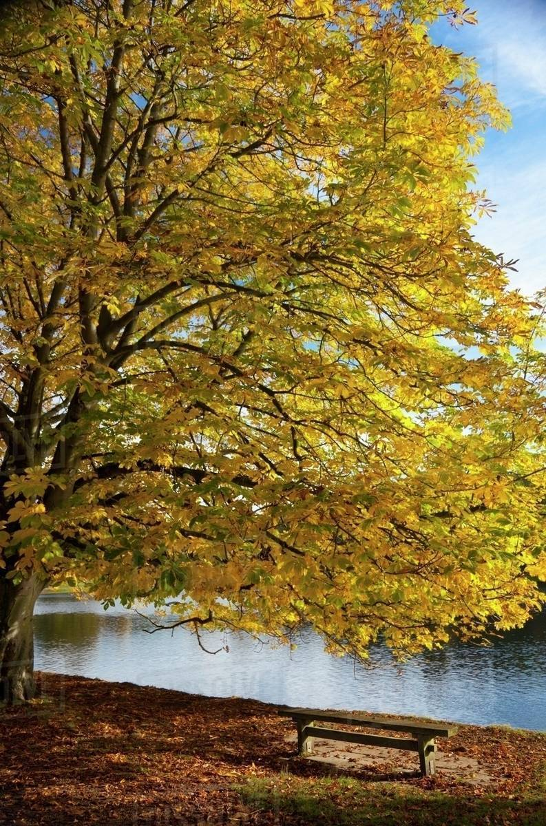A Tree With Golden Leaves And A Park Bench On The Edge Of The Water