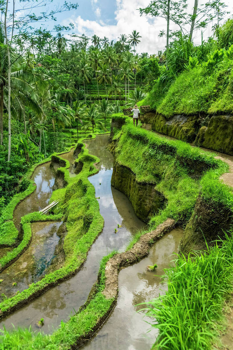 Farmer Working On Rice Terraces Near Ubud Tegallalang Bali Island