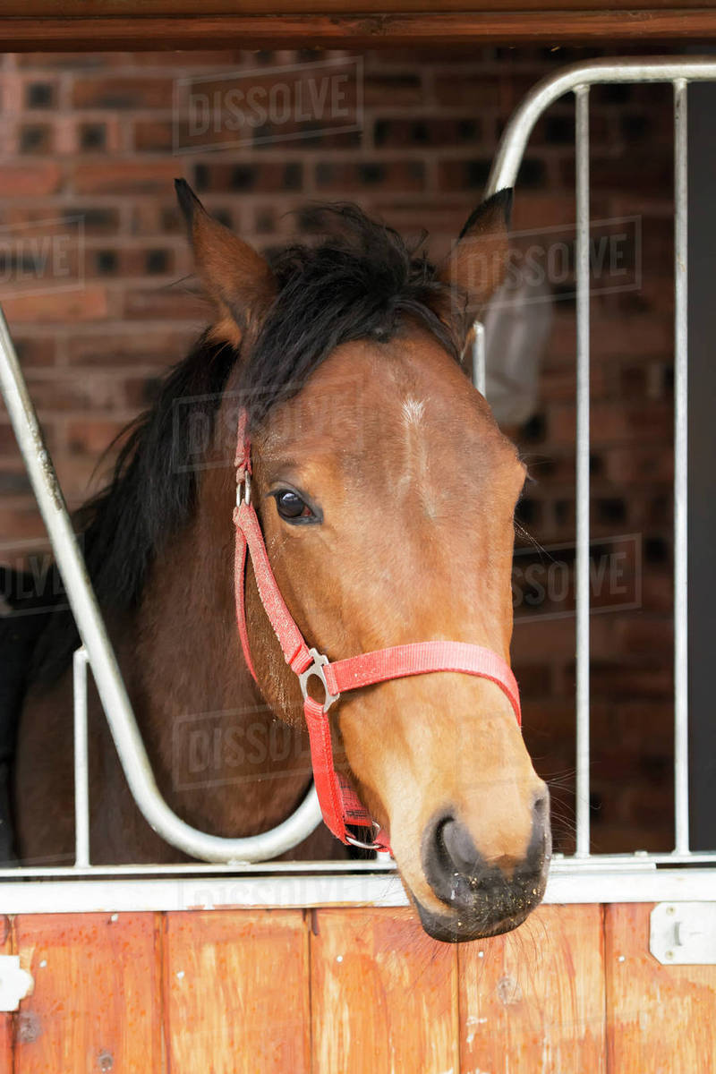 Chestnut Horse Looking Over A Stable Door Lancashire England Stock Photo Dissolve