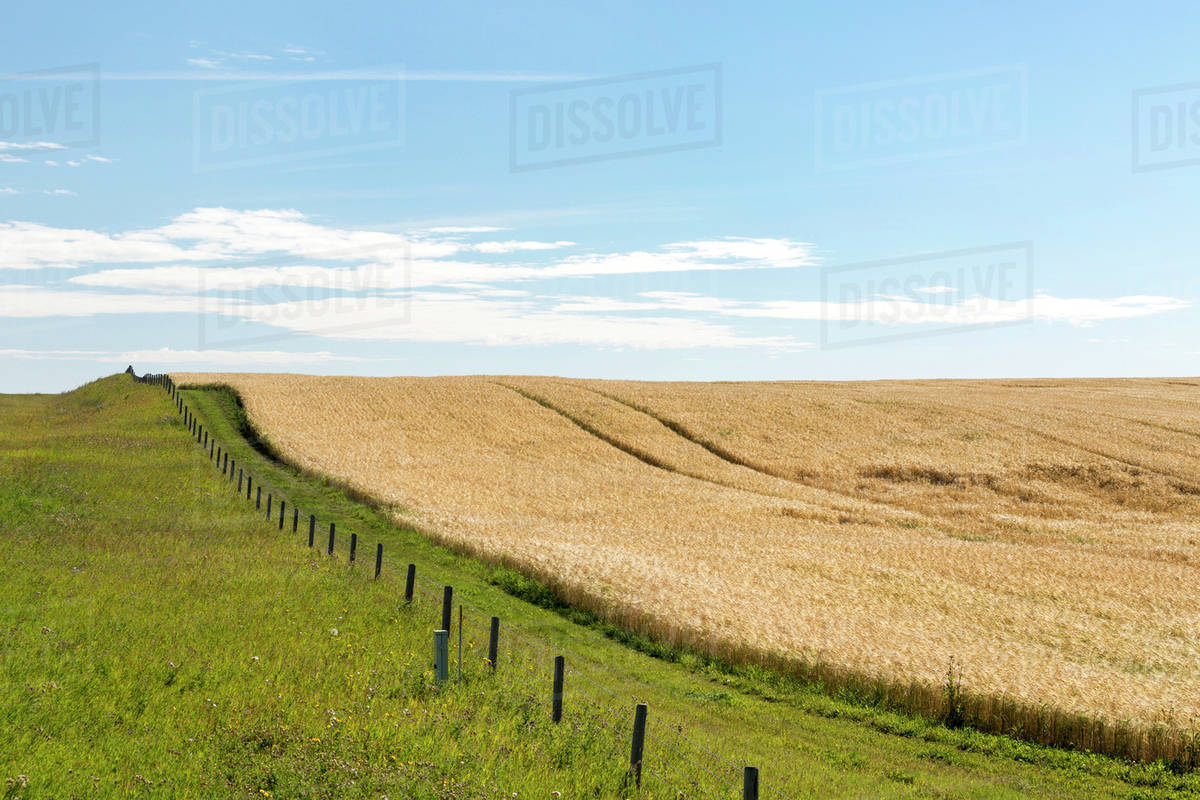 Golden barley field on a hill with barbed wire fence separating a ...
