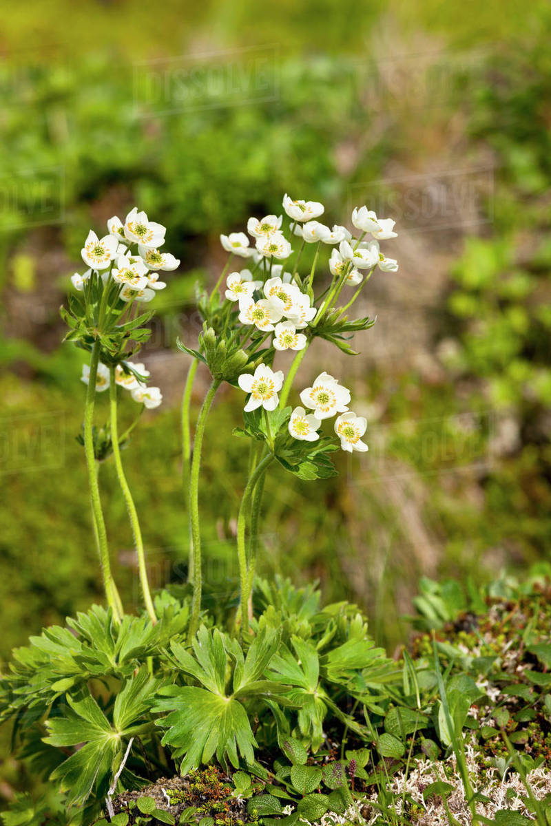 Detail of white wildflowers blooming on the tundra, Sand Point, Popof Island, Southwestern Alaska, USA, Summer