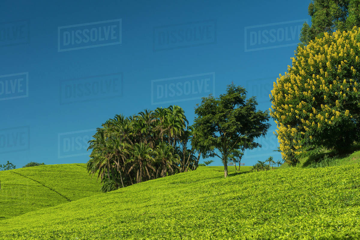 Fields of tea bushes with palm trees and a winter cassia yellow fields of tea bushes with palm trees and a winter cassia yellow flowering tree satemwa tea estate thyolo malawi izmirmasajfo