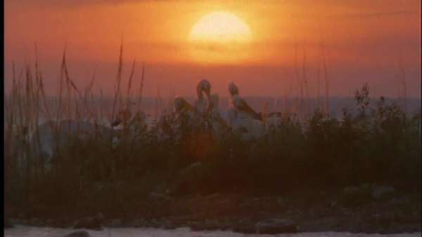 Wide shot of American white pelicans at sunset on a coast Royalty-free stock video