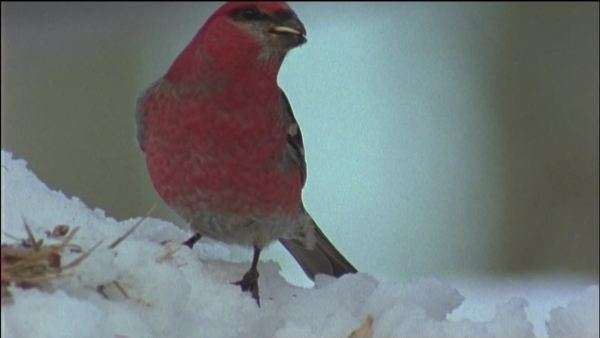 Close-up shot of a pine grosbeak feeding on the snow Royalty-free stock video