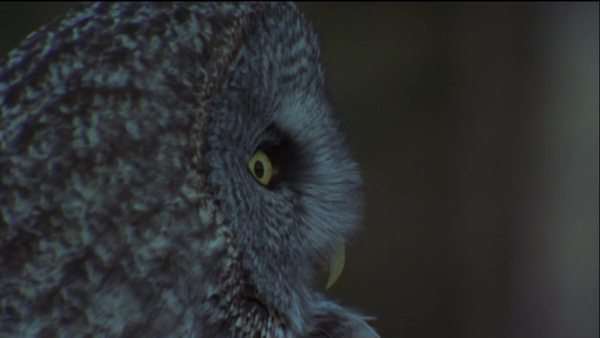 Close-up shot of a Great Gray Owl Royalty-free stock video