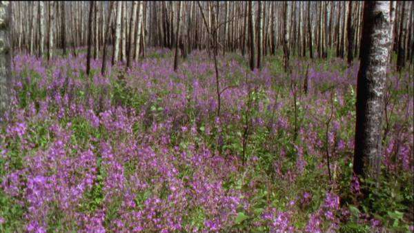 Wide shot of an aspen forest with  fireweed flowers Royalty-free stock video
