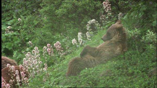 Wide shot of Grizzly bears resting on a hillside in the Denali National Park, Alaska Royalty-free stock video