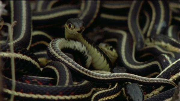 Close-up shot of red-sided garter snakes in a mating ball Royalty-free stock video