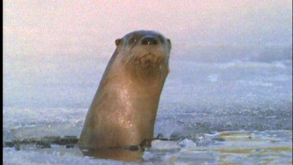 Medium shot of a river otter peeking out of an ice hole Royalty-free stock video