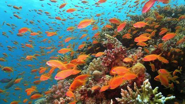 Tropical Fish on Vibrant Coral Reef, Red sea Royalty-free stock video