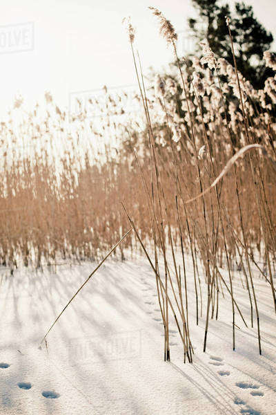 Crops in snow covered field at dawn Royalty-free stock photo