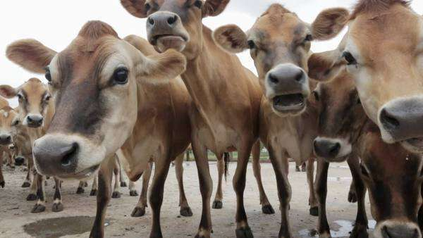 Jersey dairy cows waiting outside a milking shed at an organic dairy farm in South Africa Royalty-free stock video