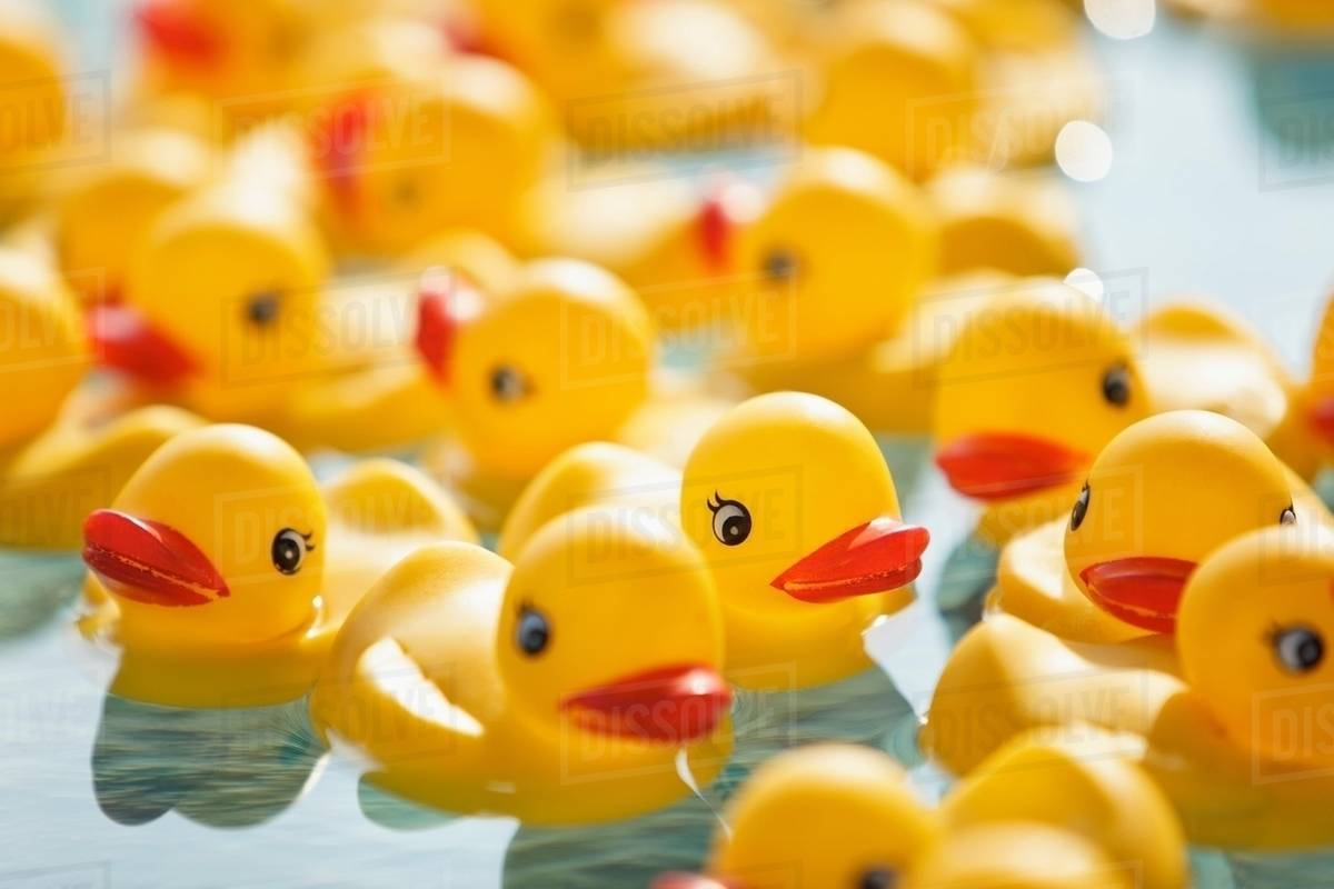 Many rubber ducks floating in pool - Stock Photo - Dissolve