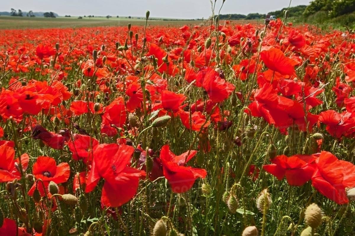 Field Of Poppy Flowers Stock Photo Dissolve