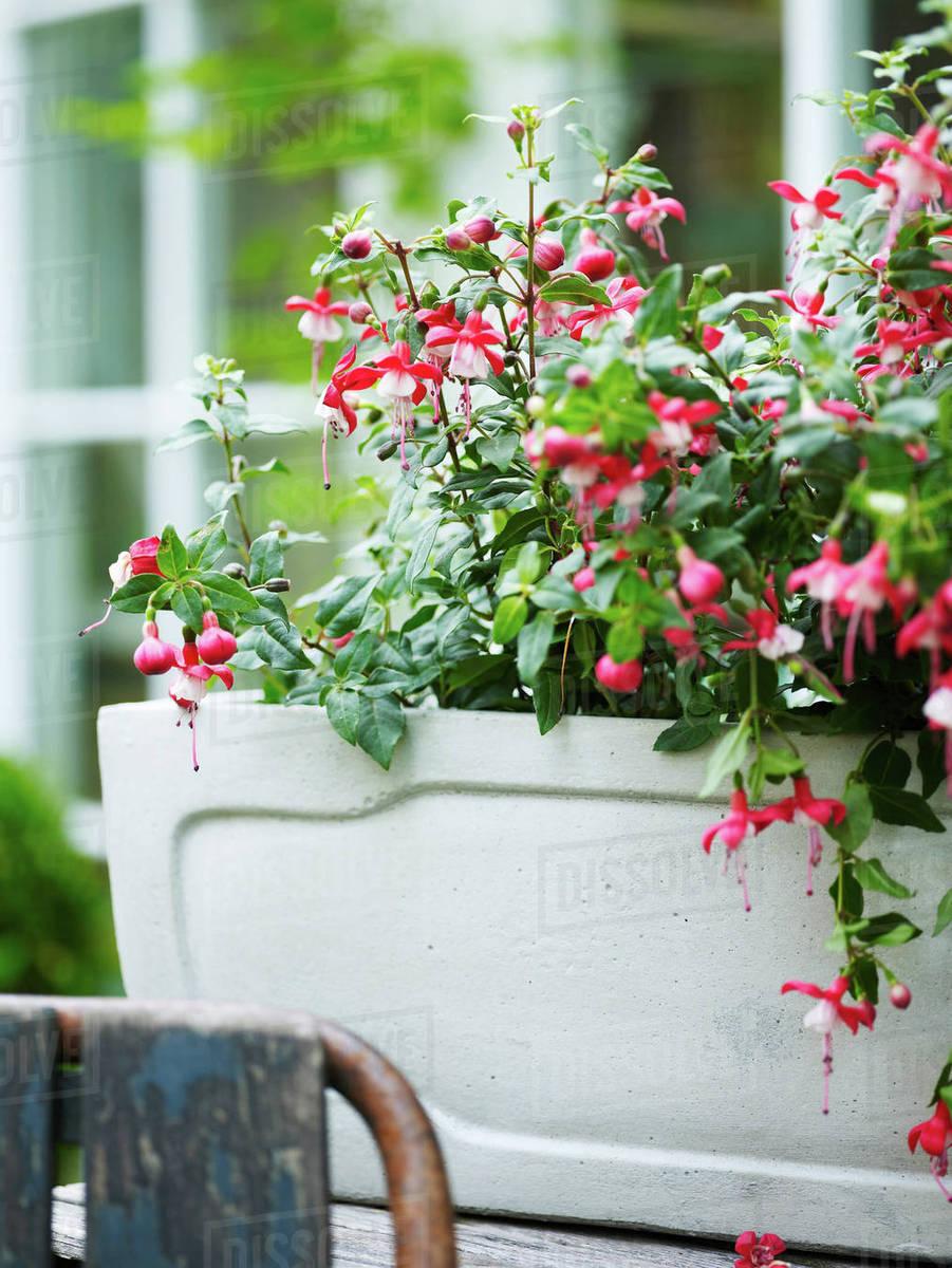 Pink Flowered Fuchsia Garden Plant In Garden Plant Pot Stock Photo