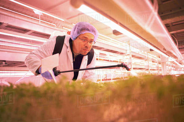 Male worker bending forward to spray micro greens in underground tunnel nursery, London, UK Royalty-free stock photo